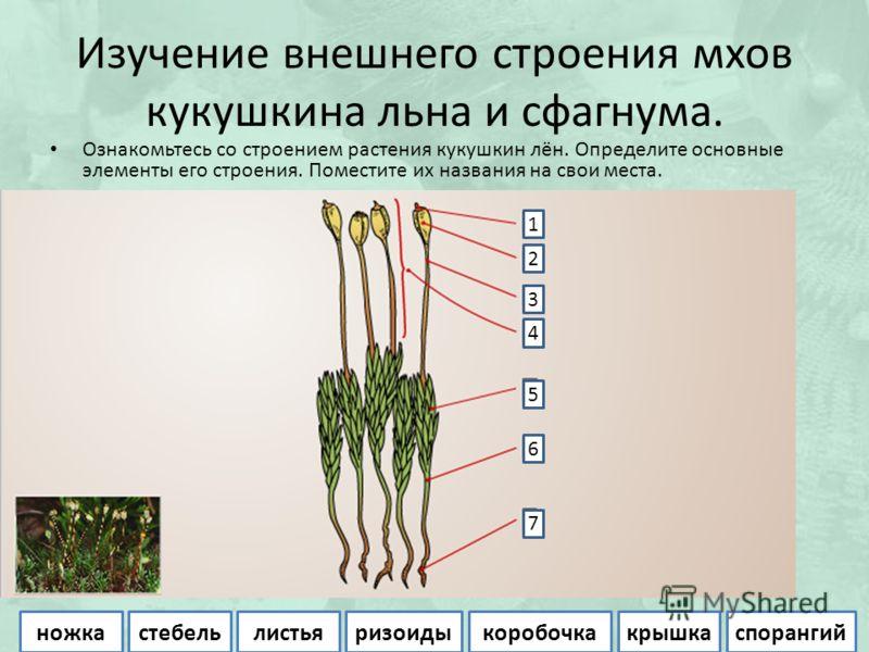 Изучение внешнего строения мхов кукушкина льна и сфагнума. Ознакомьтесь со строением растения кукушкин лён. Определите основные элементы его строения. Поместите их названия на свои места. 2 1 3 4 5 6 7 ножкастебельлистьяризоидыкоробочкакрышкаспоранги