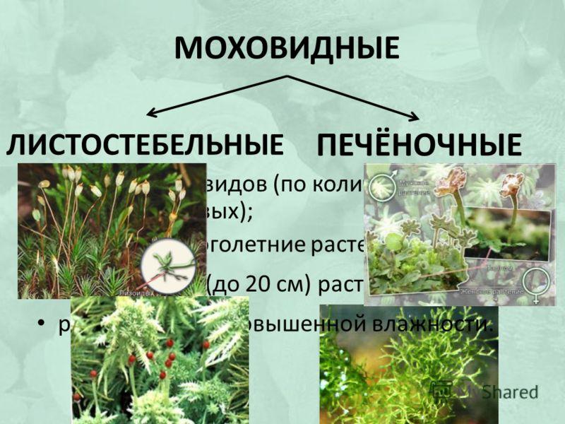 МОХОВИДНЫЕ ЛИСТОСТЕБЕЛЬНЫЕ ПЕЧЁНОЧНЫЕ около 25 000 видов (по количеству 2 место после цветковых); почти все многолетние растения; низкорослые (до 20 см) растения; растут в местах повышенной влажности.
