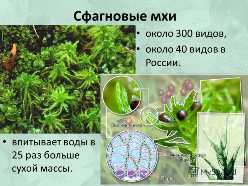 Сфагновые мхи около 300 видов, около 40 видов в России. впитывает воды в 25 раз больше сухой массы.