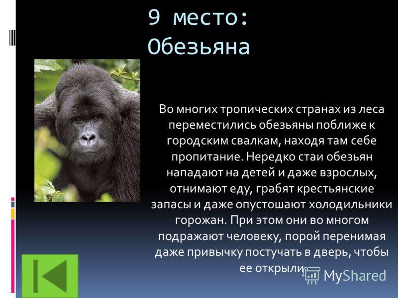 9 место: Обезьяна Во многих тропических странах из леса переместились обезьяны поближе к городским свалкам, находя там себе пропитание. Нередко стаи обезьян нападают на детей и даже взрослых, отнимают еду, грабят крестьянские запасы и даже опустошают