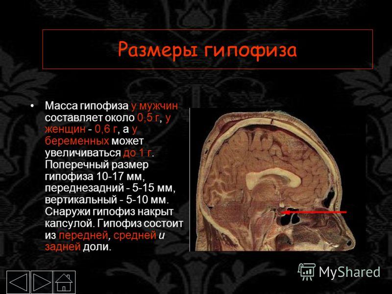 Размеры гипофиза Масса гипофиза у мужчин составляет около 0,5 г, у женщин - 0,6 г, а у беременных может увеличиваться до 1 г. Поперечный размер гипофиза 10-17 мм, переднезадний - 5-15 мм, вертикальный - 5-10 мм. Снаружи гипофиз накрыт капсулой. Гипоф