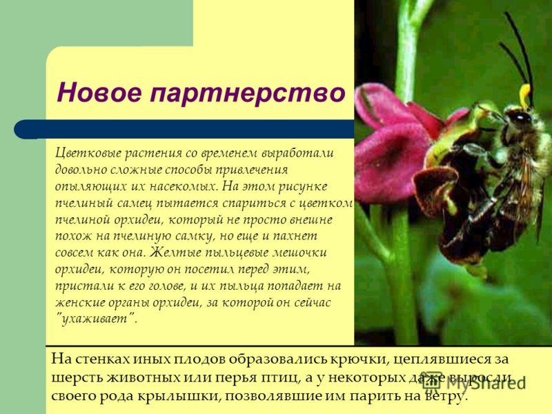 Новое партнерство Цветковые растения со временем выработали довольно сложные способы привлечения опыляющих их насекомых. На этом рисунке пчелиный самец пытается спариться с цветком пчелиной орхидеи, который не просто внешне похож на пчелиную самку, н