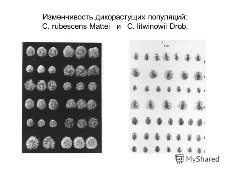 Изменчивость дикорастущих популяций: C. rubescens Mattei и C. litwinowii Drob.