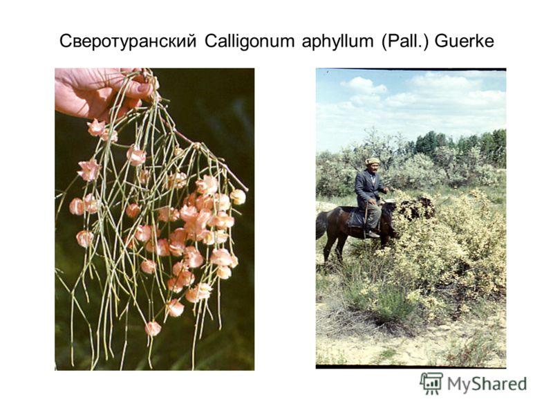 Сверотуранский Calligonum aphyllum (Pall.) Guerke