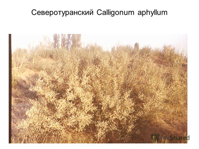 Северотуранский Calligonum aphyllum