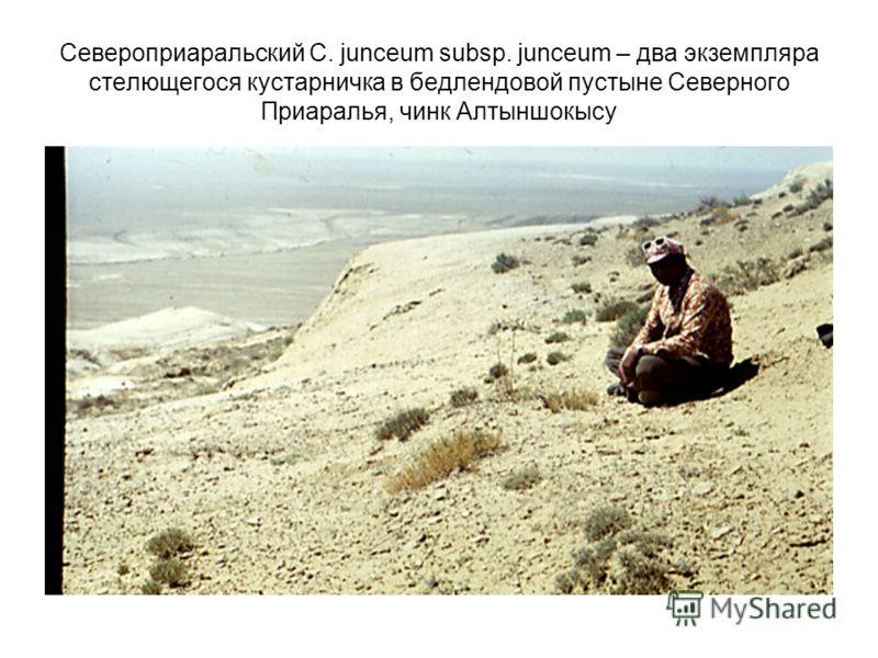 Североприаральский C. junceum subsp. junceum – два экземпляра стелющегося кустарничка в бедлендовой пустыне Северного Приаралья, чинк Алтыншокысу