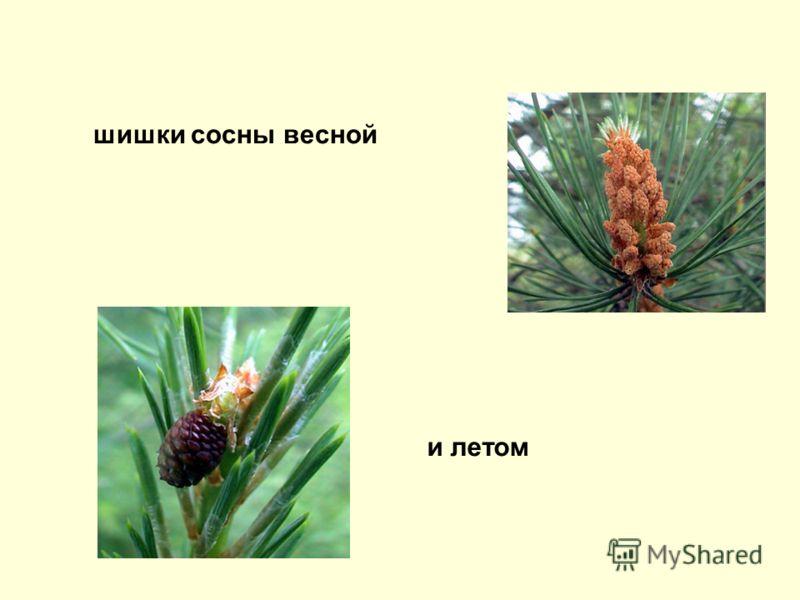 шишки сосны весной и летом
