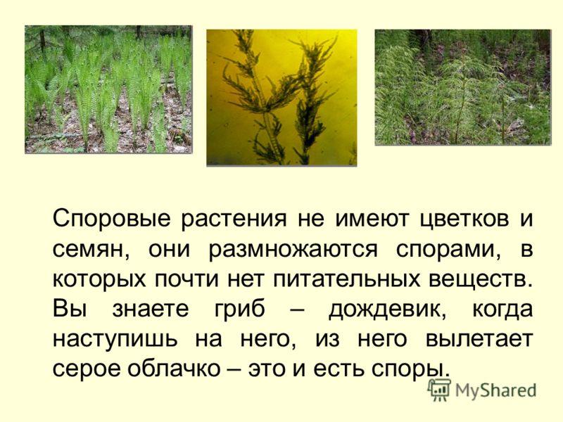 Споровые растения не имеют цветков и семян, они размножаются спорами, в которых почти нет питательных веществ. Вы знаете гриб – дождевик, когда наступишь на него, из него вылетает серое облачко – это и есть споры.