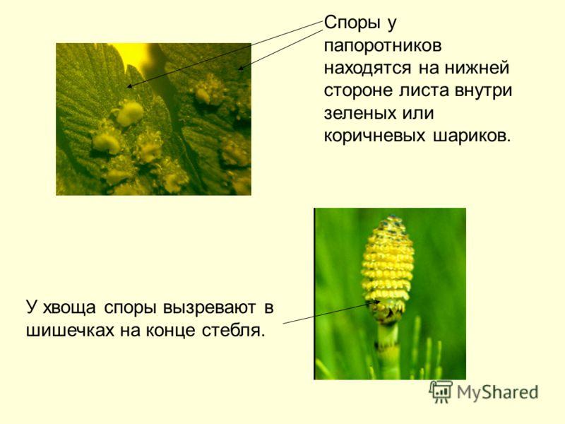 У хвоща споры вызревают в шишечках на конце стебля. Споры у папоротников находятся на нижней стороне листа внутри зеленых или коричневых шариков.