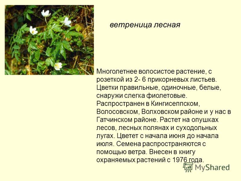 ветреница лесная Многолетнее волосистое растение, с розеткой из 2- 6 прикорневых листьев. Цветки правильные, одиночные, белые, снаружи слегка фиолетовые. Распространен в Кингисеппском, Волосовском, Волховском районе и у нас в Гатчинском районе. Расте