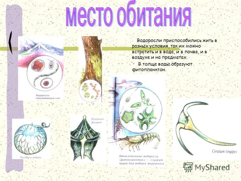 Место обитания Водоросли приспособились жить в разных условия, так их можно встретить и в воде, и в почве, и в воздухе и на предметах. В толще воды образуют фитопланктон.