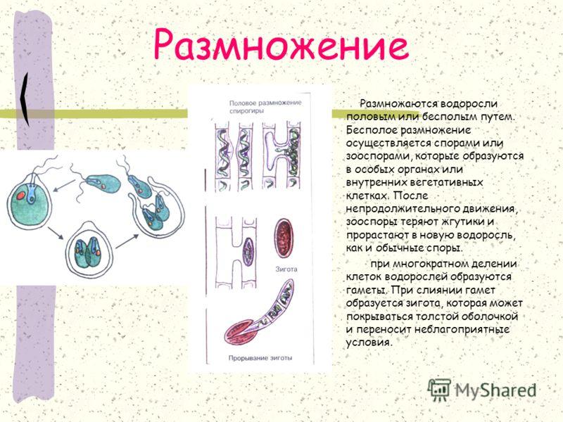 Размножение Размножаются водоросли половым или бесполым путем. Бесполое размножение осуществляется спорами или зооспорами, которые образуются в особых органах или внутренних вегетативных клетках. После непродолжительного движения, зооспоры теряют жгу