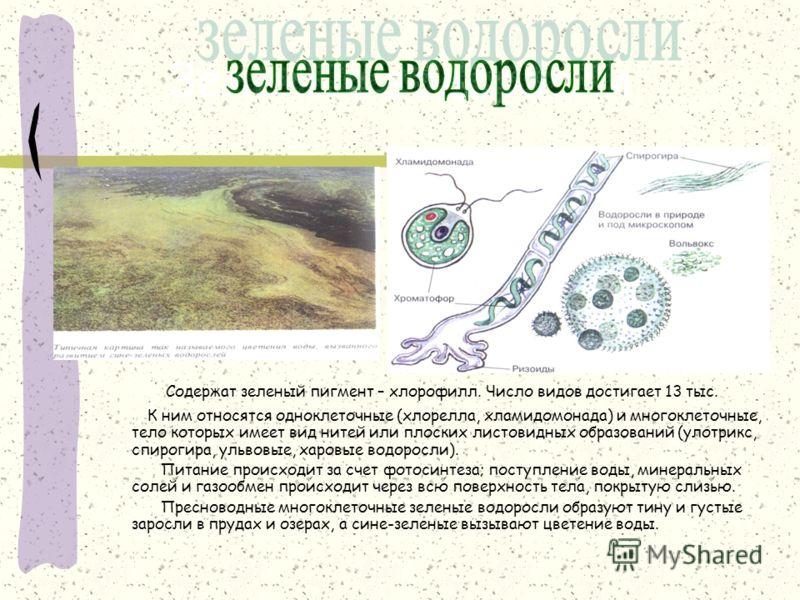 Зеленые водоросли Содержат зеленый пигмент – хлорофилл. Число видов достигает 13 тыс. К ним относятся одноклеточные (хлорелла, хламидомонада) и многоклеточные, тело которых имеет вид нитей или плоских листовидных образований (улотрикс, спирогира, уль