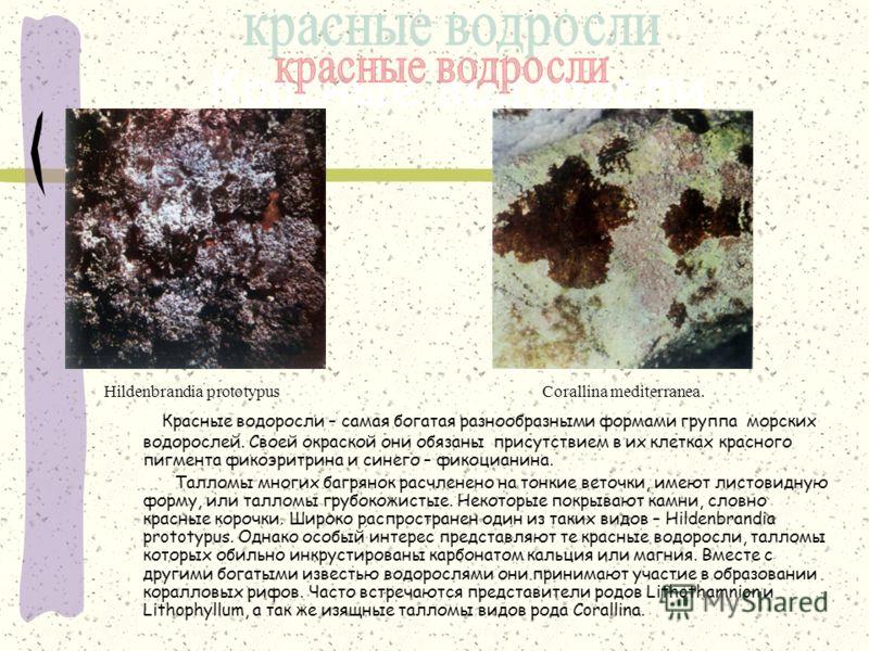 Красные водоросли Красные водоросли – самая богатая разнообразными формами группа морских водорослей. Своей окраской они обязаны присутствием в их клетках красного пигмента фикоэритрина и синего – фикоцианина. Талломы многих багрянок расчленено на то
