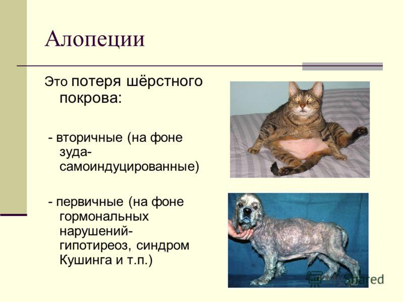 Алопеции Это потеря шёрстного покрова: - вторичные (на фоне зуда- самоиндуцированные) - первичные (на фоне гормональных нарушений- гипотиреоз, синдром Кушинга и т.п.)
