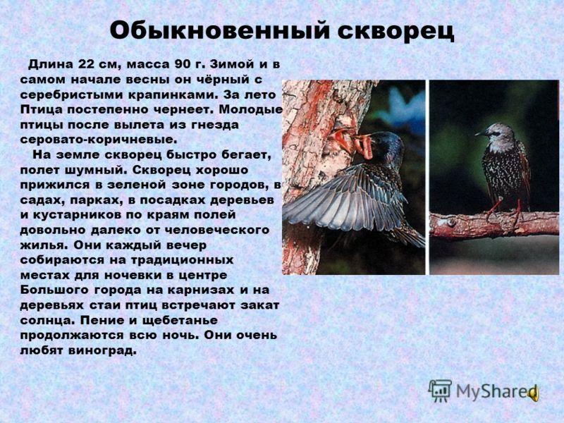 Обыкновенная кукушка Птица среднего размера с длинным хвостом. Кукушку выдают равномерно быстрые удары крыльев. Взрослые птицы серые с белыми пятнами на хвосте, грудь и брюшко с поперечными полосками. Встречаются и особи с рыжевато-бурой окраской. У