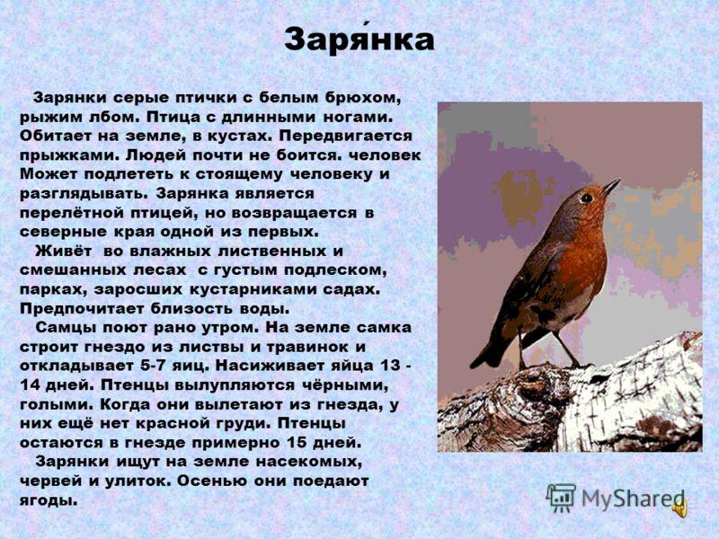 Обыкновенная овсянка Обыкновенная овсянка - желтоватая птичка. Спина и пятна на боках коричневые. У самки и молодых птиц преобладает буро-серый цвет. Населяет опушки лесов и вырубки, где есть деревья и кусты. Гнездо помещает в ямке на земле, чаще все