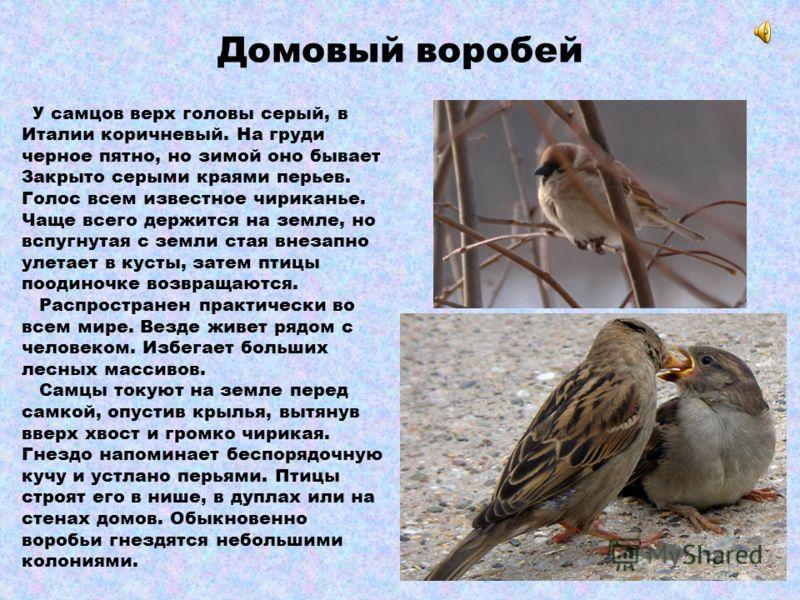 Сизый голубь, сизарь Они с незапамятных времен приспособились к жизни в населенных пунктах и в настоящее время распространены по всему свету. Первоначально диких голубей приручали и разводили ради мяса, затем появились породы декоративных и почтовых