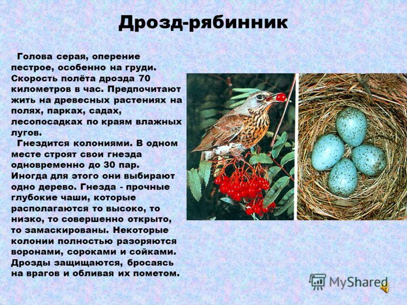 Грач У него тонкий клюв. Основание клюва у взрослых птиц серовато- белое. Он чёрный, с красивым блеском. Длина примерно 46 см, размах крыльев 90 см. Предпочитает поля с разбросанными по ним деревьями. Гнездится колониями всегда недалеко от воды. Зиму