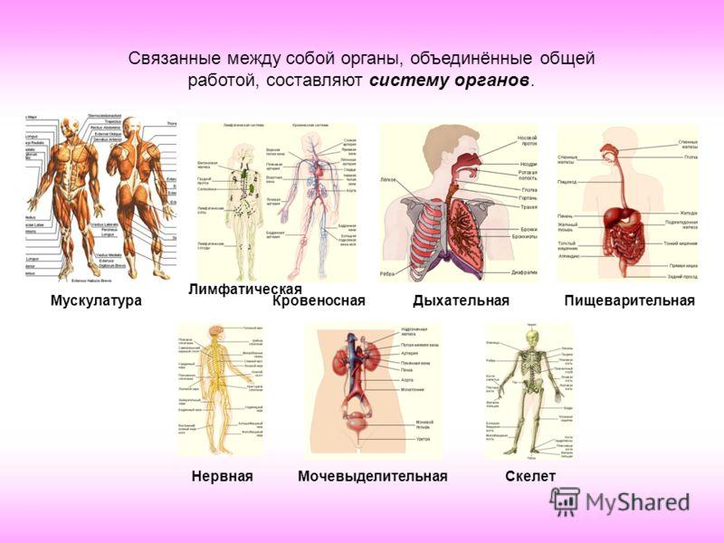 Связанные между собой органы, объединённые общей работой, составляют систему органов. Мускулатура Лимфатическая КровеноснаяДыхательнаяПищеварительная НервнаяМочевыделительнаяСкелет