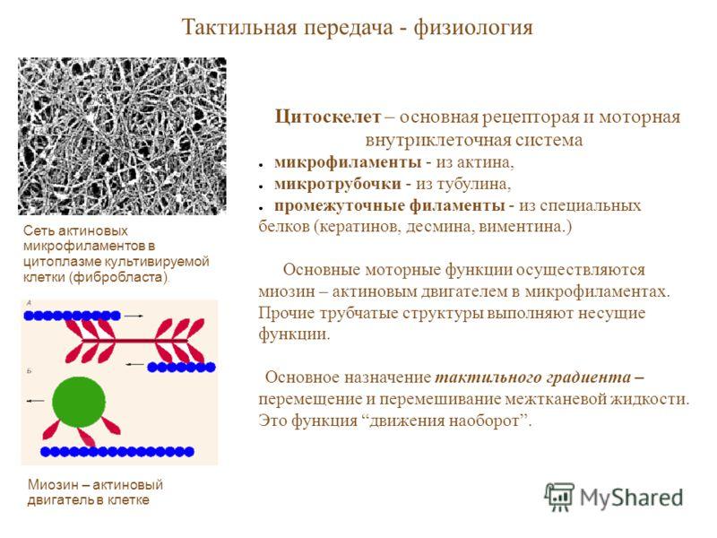 Сеть актиновых микрофиламентов в цитоплазме культивируемой клетки (фибробласта). Тактильная передача - физиология Миозин – актиновый двигатель в клетке Цитоскелет – основная рецепторая и моторная внутриклеточная система микрофиламенты - из актина, ми