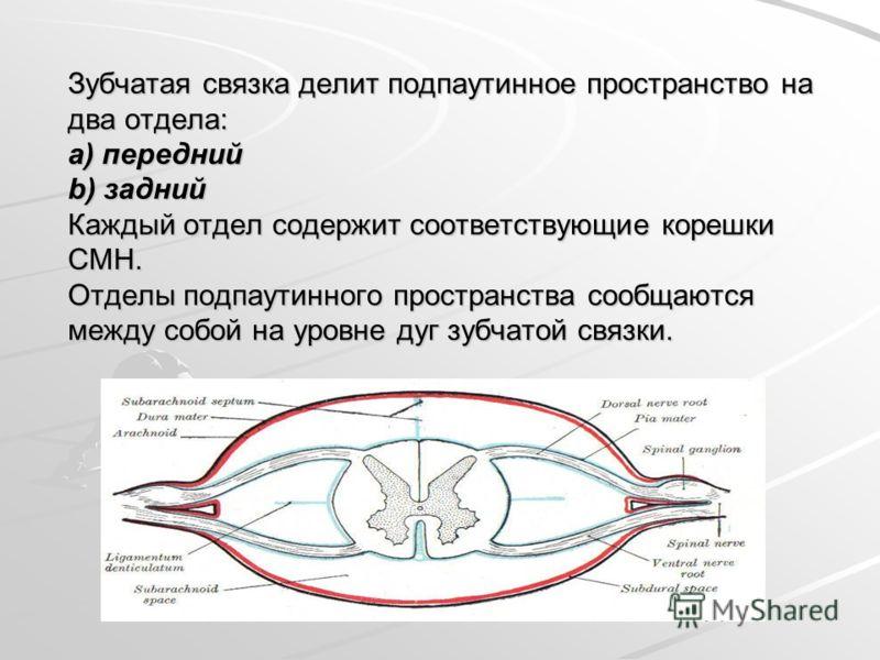 Зубчатая связка делит подпаутинное пространство на два отдела: a) передний b) задний Каждый отдел содержит соответствующие корешки СМН. Отделы подпаутинного пространства сообщаются между собой на уровне дуг зубчатой связки.