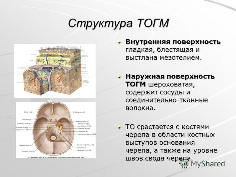 Структура ТОГМ Внутренняя поверхность гладкая, блестящая и выстлана мезотелием. Наружная поверхность ТОГМ шероховатая, содержит сосуды и соединительно-тканные волокна. ТО срастается с костями черепа в области костных выступов основания черепа, а такж