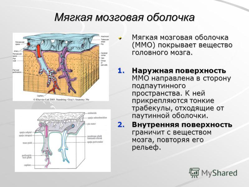 Мягкая мозговая оболочка Мягкая мозговая оболочка (ММО) покрывает вещество головного мозга. 1.Наружная поверхность ММО направлена в сторону подпаутинного пространства. К ней прикрепляются тонкие трабекулы, отходящие от паутинной оболочки. 2.Внутрення