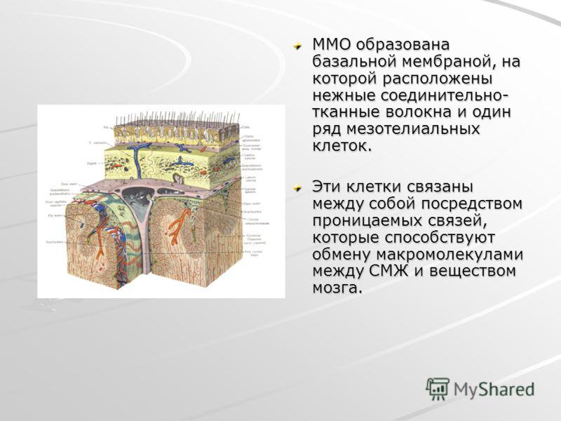 ММО образована базальной мембраной, на которой расположены нежные соединительно- тканные волокна и один ряд мезотелиальных клеток. Эти клетки связаны между собой посредством проницаемых связей, которые способствуют обмену макромолекулами между СМЖ и