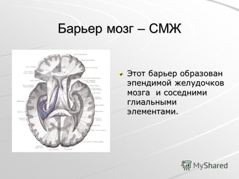 Барьер мозг – СМЖ Этот барьер образован эпендимой желудочков мозга и соседними глиальными элементами.
