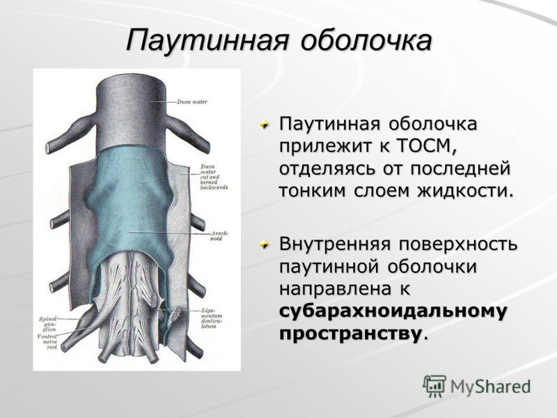 Паутинная оболочка Паутинная оболочка прилежит к ТОСМ, отделяясь от последней тонким слоем жидкости. Внутренняя поверхность паутинной оболочки направлена к субарахноидальному пространству.