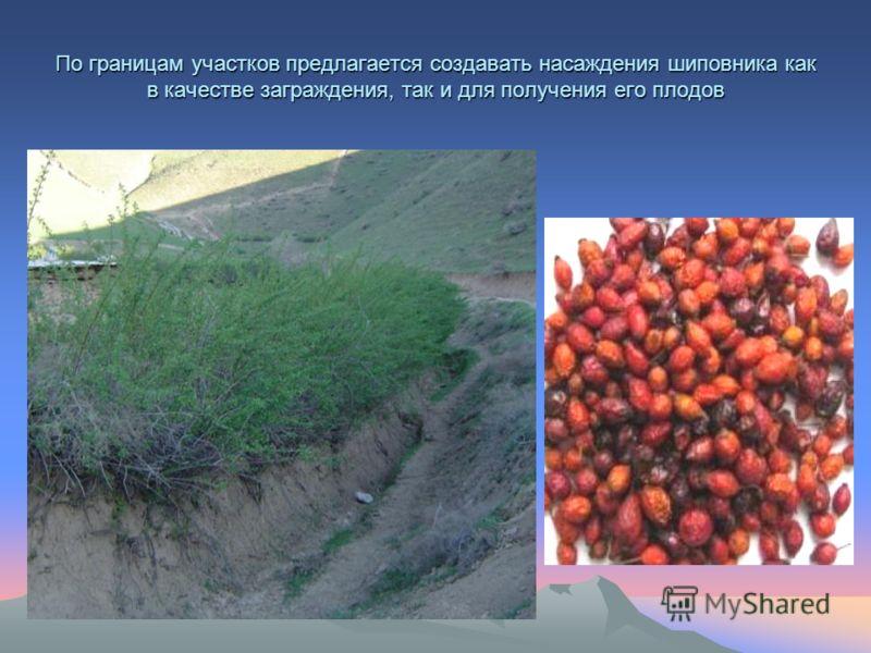По границам участков предлагается создавать насаждения шиповника как в качестве заграждения, так и для получения его плодов