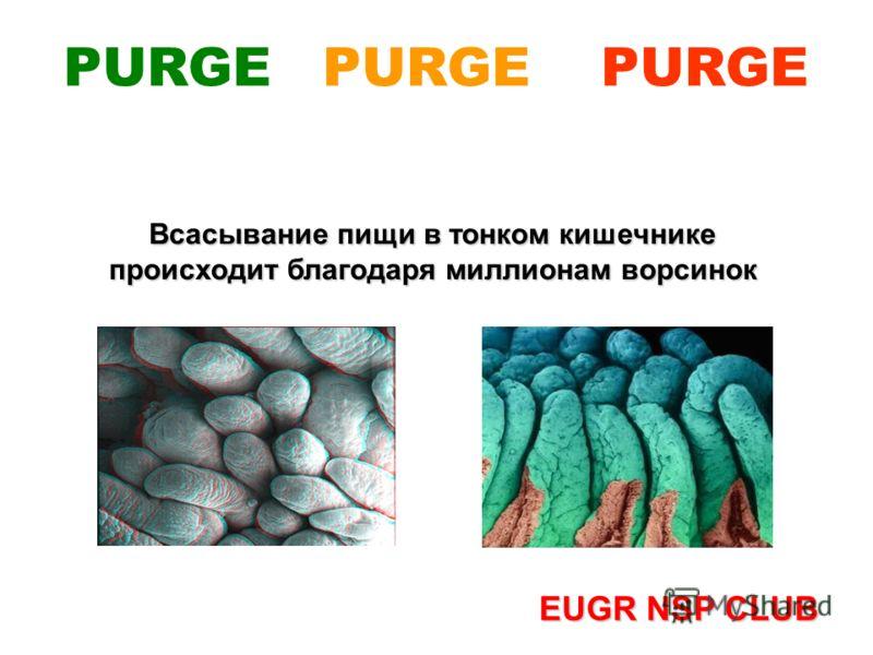 Всасывание пищи в тонком кишечнике происходит благодаря миллионам ворсинок EUGR NSP CLUB PURGE PURGE PURGE