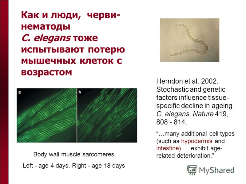 Как и люди, черви- нематоды C. elegans тоже испытывают потерю мышечных клеток с возрастом Body wall muscle sarcomeres Left - age 4 days. Right - age 18 days Herndon et al. 2002. Stochastic and genetic factors influence tissue- specific decline in age