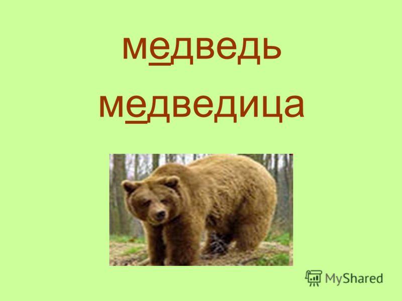 медведь медведица