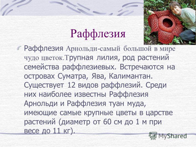 Раффлезия Раффлезия Арнольди-самый большой в мире чудо цветок.Т рупная лилия, род растений семейства раффлезиевых. Встречаются на островах Суматра, Ява, Калимантан. Существует 12 видов раффлезий. Среди них наиболее известны Раффлезия Арнольди и Раффл