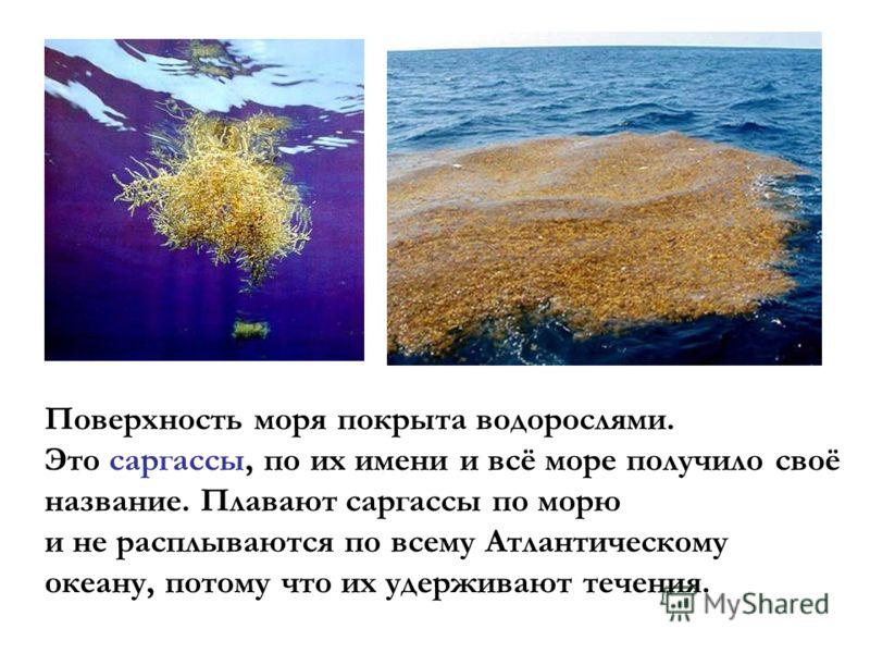 Поверхность моря покрыта водорослями. Это саргассы, по их имени и всё море получило своё название. Плавают саргассы по морю и не расплываются по всему Атлантическому океану, потому что их удерживают течения.