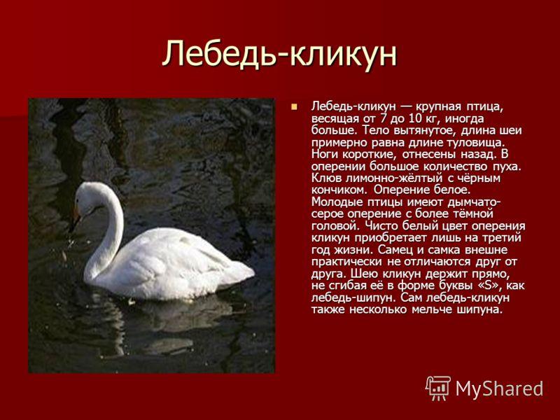 Лебедь-кликун Лебедь-кликун крупная птица, весящая от 7 до 10 кг, иногда больше. Тело вытянутое, длина шеи примерно равна длине туловища. Ноги короткие, отнесены назад. В оперении большое количество пуха. Клюв лимонно-жёлтый с чёрным кончиком. Оперен
