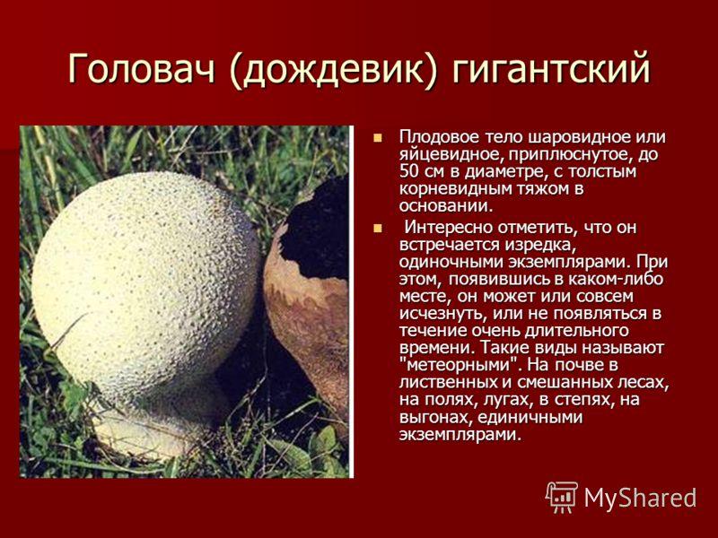 Головач (дождевик) гигантский Плодовое тело шаровидное или яйцевидное, приплюснутое, до 50 см в диаметре, с толстым корневидным тяжом в основании. Плодовое тело шаровидное или яйцевидное, приплюснутое, до 50 см в диаметре, с толстым корневидным тяжом