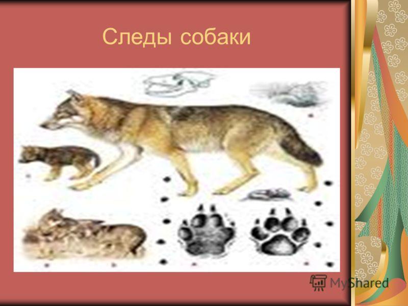 Следы собаки