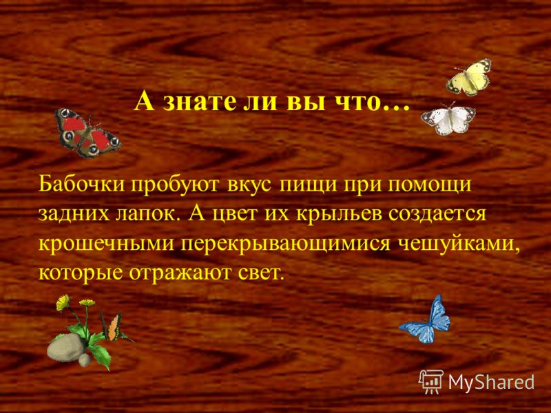 А знате ли вы что… Бабочки пробуют вкус пищи при помощи задних лапок. А цвет их крыльев создается крошечными перекрывающимися чешуйками, которые отражают свет.