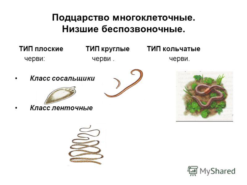 Подцарство многоклеточные. Низшие беспозвоночные. ТИП плоские ТИП круглые ТИП кольчатые черви: черви. черви. Класс сосальщики Класс ленточные