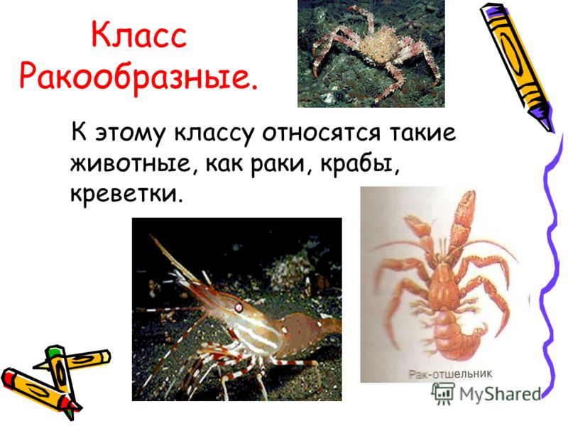 Класс Ракообразные. К этому классу относятся такие животные, как раки, крабы, креветки.