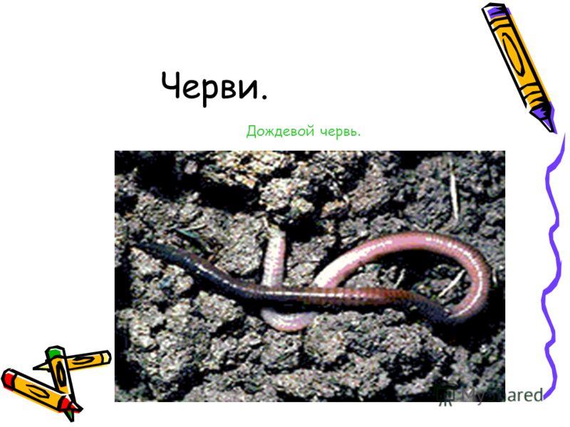 Черви. Дождевой червь.