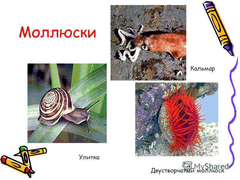Двустворчатый моллюск Моллюски Кальмар Улитка