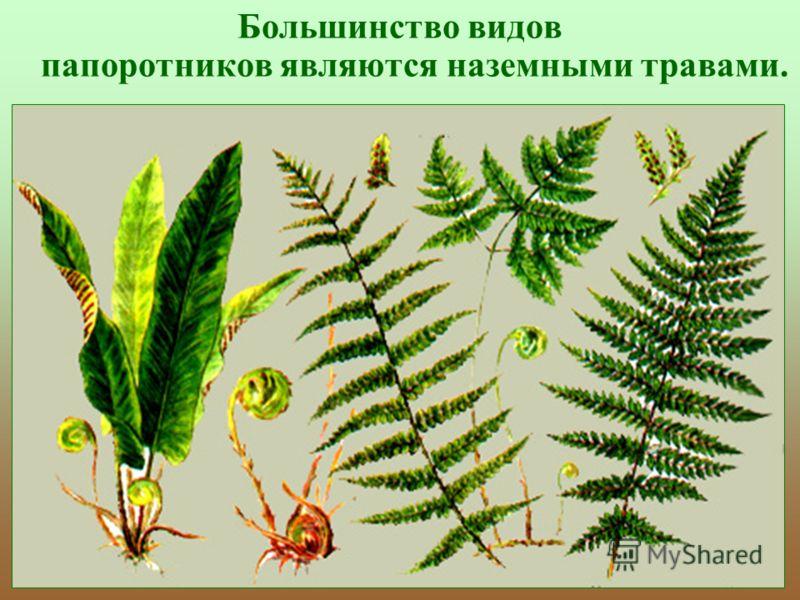 Большинство видов папоротников являются наземными травами.