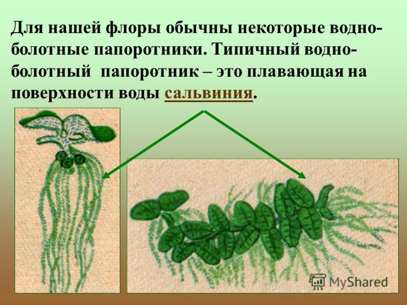 Для нашей флоры обычны некоторые водно- болотные папоротники. Типичный водно- болотный папоротник – это плавающая на поверхности воды сальвиния.