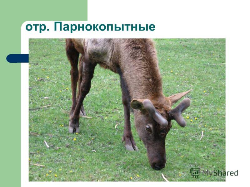 отр. Парнокопытные