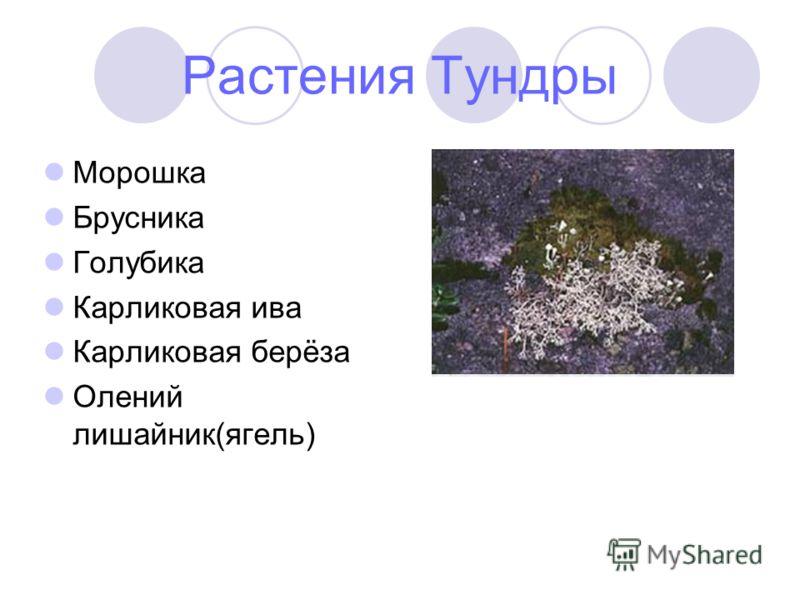 Растения Тундры Морошка Брусника Голубика Карликовая ива Карликовая берёза Олений лишайник(ягель)