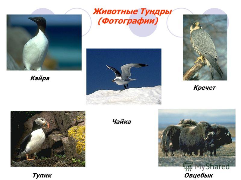 Кайра Тупик Чайка Кречет Овцебык Животные Тундры (Фотографии)